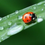 lady bug on a blade of grass