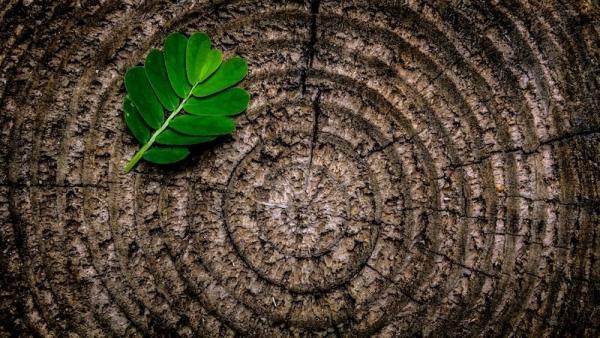 leaf on a tree stump