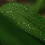 Closeup of wedge shaped leaf with water droplets