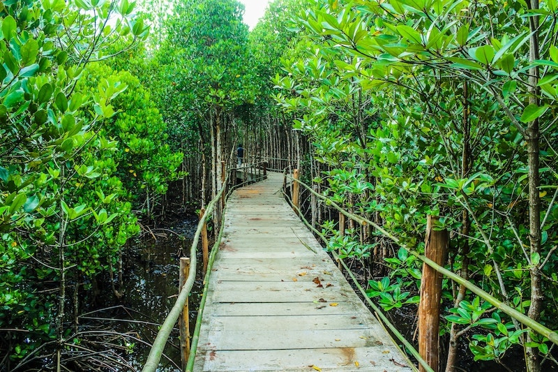 wooden bridge through lush green swamp