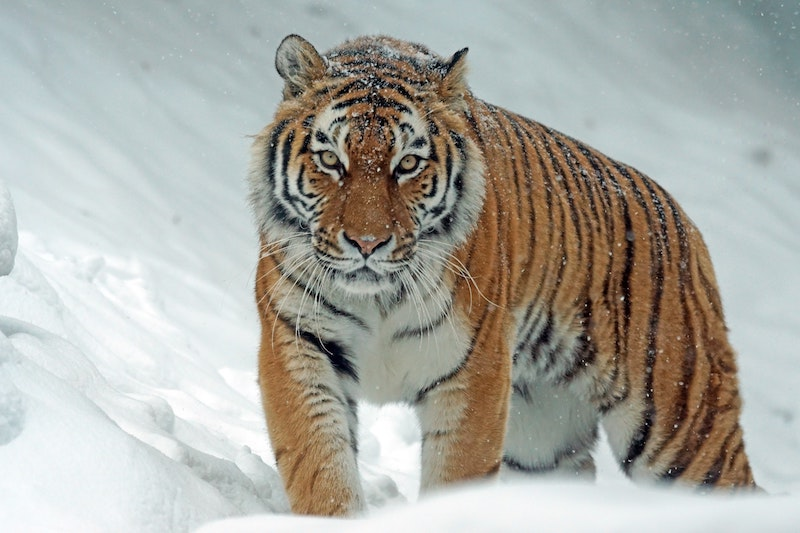 tiger walking through snow toward the viewer