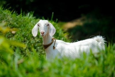 white goat in green field